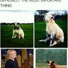 Cows Sitting Like Dogs