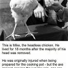 Headless Chicken